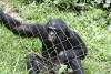 Bonobo male