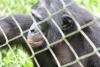 Bonobo male - close-up