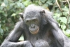 Elderly Bonobo lady