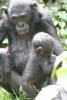Bonobo female with male young
