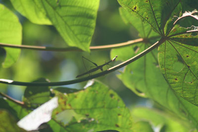 Stick insect on a leaf in the Amazon rain forest
