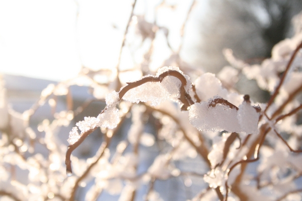 Snow on a willow branch