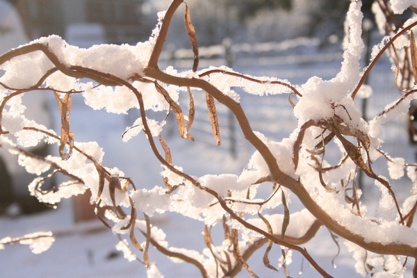 Snow on willow branches