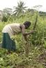Production of manioc seedlings