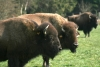 Three bison cows