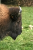 Bison in close-up