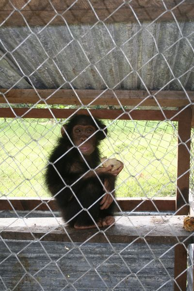 Gaston, a young chimp, gnawing on a bone