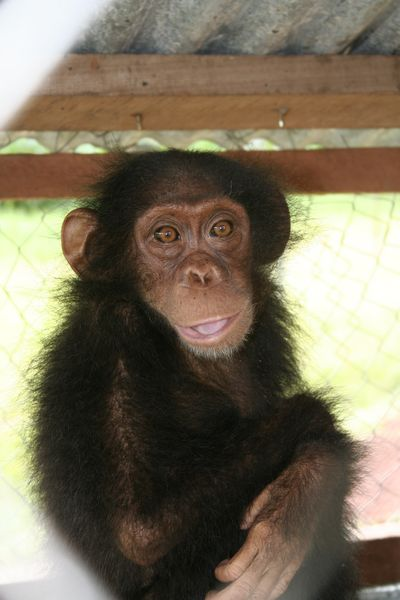 Gaston, a chimp from Congo