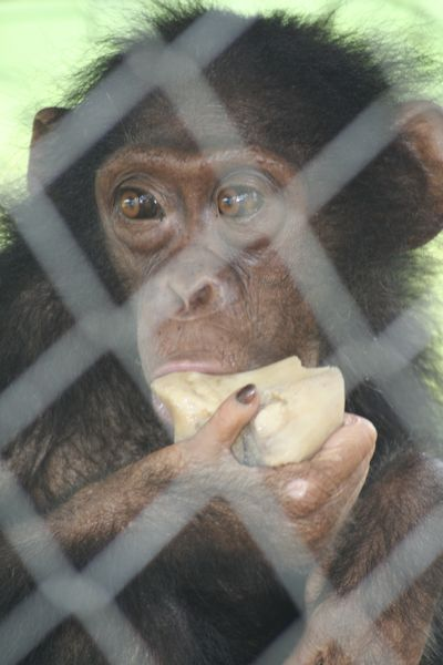 Close-up of young chimpanzee gnawing on a bone
