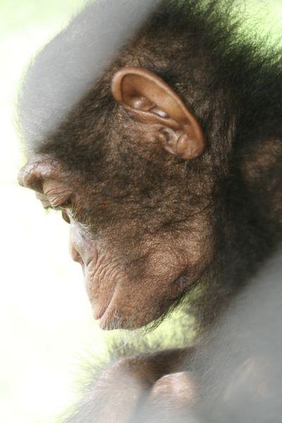 Close-up of a sad young chimp
