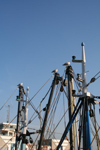 Gulls in the masts of fisherboats in the Ostend harbour (Belgian coast)
