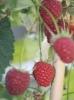 Delicious pink raspberries